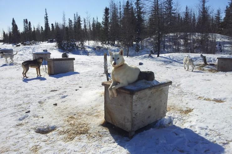 Huskies in Churchill