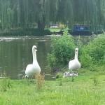 Watchful swan parents