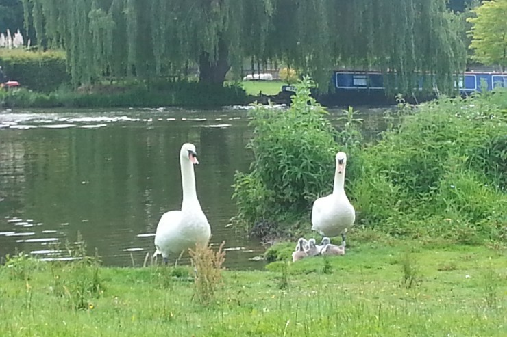 Watchful swan parents